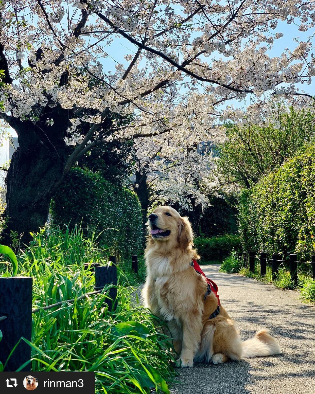 お散歩コースに桜が咲いた! 画像1