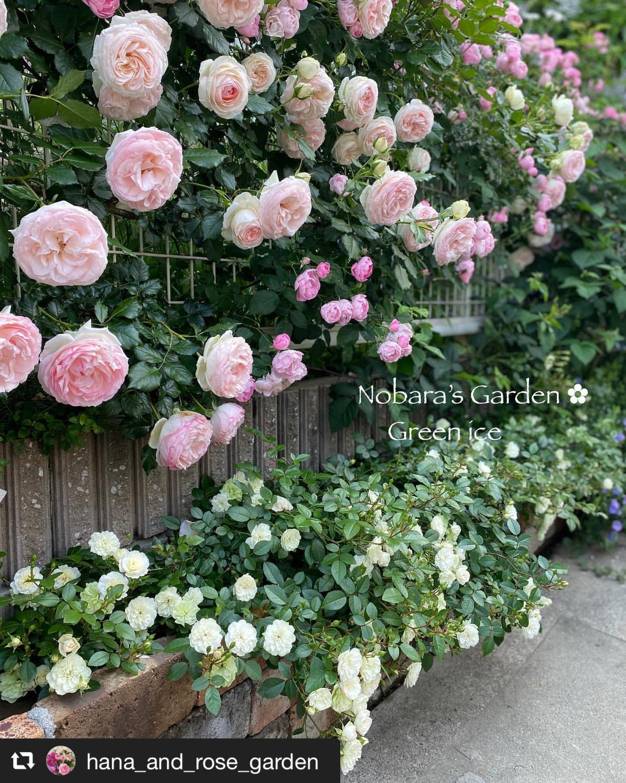 見事に咲いた3種類のバラ「ピエールドゥロンサール」「ローブリッター」「グリーンアイス」 画像1