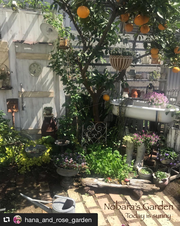 雨上がりの庭で可憐に咲く「ビオラ」 画像1