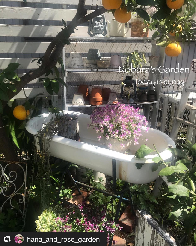 雨上がりの庭で可憐に咲く「ビオラ」 画像2